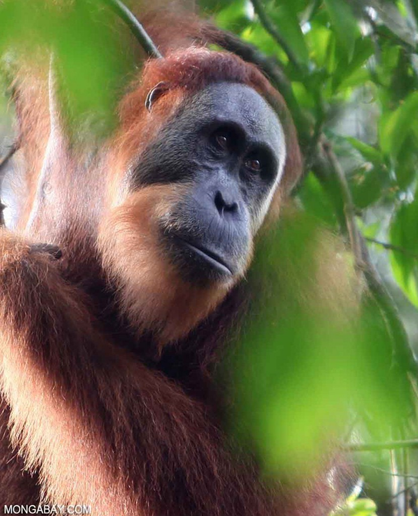 orangutan palm oil